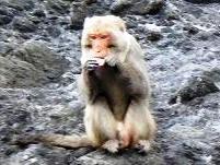 食い タイワンザル 人